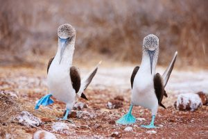 Save the Blue-Footed Booby Birds!